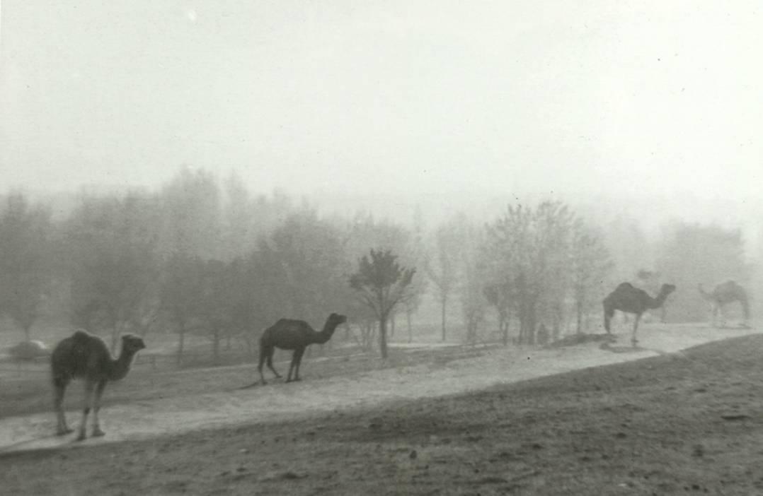 La foto de la semana: Dromedarios en la Casa de Campo. 1962