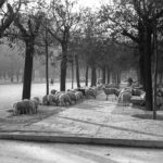 La foto de la semana: Ovejas en la Castellana